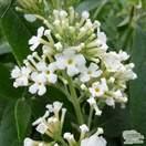 Buy Buddleja 'Dreaming White' (Butterfly Bush) online from Jacksons Nurseries