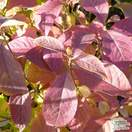 Buy Callicarpa bodinieri Giraldii 'Profusion' (Beauty Berry) online from Jacksons Nurseries