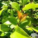 Buy Camellia x williamsii 'Ruby Wedding' online from Jacksons Nurseries