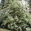 Buy Cornus kousa Bare Root (Chinese Dogwood) online from Jacksons Nurseries