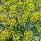 Buy Anethum graveolens (Dill) online from Jacksons Nurseries