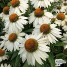 Buy Echinacea purpurea 'White Meditation' (Coneflower) online from Jacksons Nurseries.