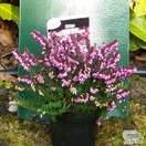 Buy Erica x darleyensis Kramer's Rote (Darley Dale Heath Heather) online from Jacksons Nurseries