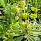 Buy Euphorbia characias subsp. 'Humpty Dumpty' (Spurge) online from Jacksons Nurseries