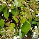 Buy Hydrangea anomala petiolaris online from Jacksons Nurseries