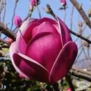 Buy Magnolia 'Sweet Valentine' online from Jacksons Nurseries