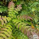 Buy Mahonia x media Charity (Mahonia) online from Jacksons Nurseries