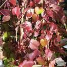 Buy Parthenocissus tricuspidata Veitchii online from Jacksons Nurseries