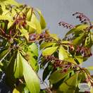Buy Pieris japonica Katsura (Lily of the Valley Shrub) online from Jacksons Nurseries
