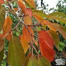 Buy Prunus serrulata Tai Haku (Hill Cherry) online from Jacksons Nurseries