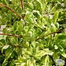 Pyracantha Saphyr Panache 'Cadvar' - Jacksons Nurseries