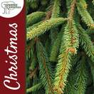 Buy Norway Spruce Christmas Tree (2ft - 3ft, potted) online at Jacksons Nurseries