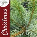 Buy Serbian Spruce Christmas Tree (2ft - 3ft, potted) online at Jacksons Nurseries