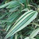 Buy Hibanobambusa tranquillans Shiroshima online from Jacksons Nurseries