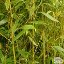 Buy Phyllostachys aurea online from Jacksons Nurseries