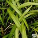 Buy Phormium Golden Sword (New Zealand Flax) online from Jacksons Nurseries.