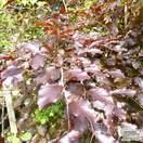 Buy Fagus sylvatica Atropurpurea Group (Tree) (Purple European Beech) online from Jacksons Nurseries