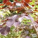 Buy Fagus sylvatica Atropurpurea Group (Tree) (Purple European Beach) online from Jacksons Nurseries