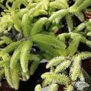 Buy Abies pinsapo 'Aurea' online from Jacksons Nurseries