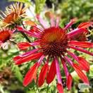 Buy Echinacea 'Hot Summer' (Coneflower) online from Jacksons Nurseries.