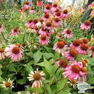 Buy Echinacea 'Summer Cocktail' (Coneflower) online from Jacksons Nurseries.