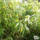 Buy Fargesia murieliae Rufa online from Jacksons Nurseries