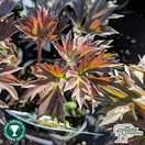 Buy Paeonia 'Bartzella' (Peony) online from Jacksons Nurseries