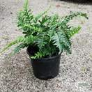 Buy Polypodium vulgare (Common Polypody) online from Jacksons Nurseries