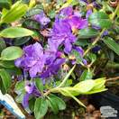 Buy Rhododendron Blue Diamond online from Jacksons Nurseries