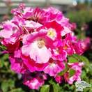 Buy Rosa American Pillar (Rambling Rose) in the UK