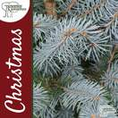 Buy Real Blue Spruce Christmas Trees Online