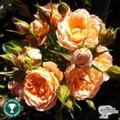 Buy Rosa Sweet Dream (Patio Rose) online from Jacksons Nurseries