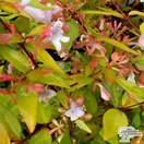 Buy Abelia x grandiflora 'Francis Mason' (Abelia) online from Jackson's Nurseries.