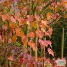 Buy Acer Capillipes (Snake-Bark Maple) online from Jacksons Nurseries