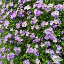 Buy Aubrieta Purple Cascade (Aubretia) online from Jacksons Nurseries