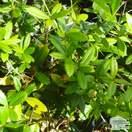 Berberis julianae bare root