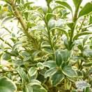 Buy Buxus sempervirens Argenteovariegata online from Jacksons Nurseries