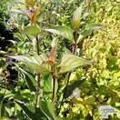 Buy Cornus alba 'Kesselringii' (Dogwood) online from Jacksons Nurseries