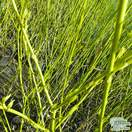 Cornus sericea Flaviramea bare root bark