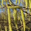 Corylus avellana bare root 2 catkins