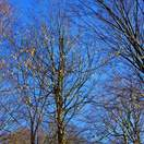 Corylus avellana bare root 5 full tree