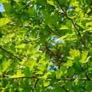 Crataegus monogyna bare root 5 green leaves