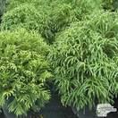 Buy Cryptomeria japonica 'Globosa Nana' online from Jacksons Nurseries.