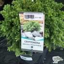Buy Cryptomeria japonica 'Vilmoriniana' dwarf conifer online from Jacksons Nurseries.
