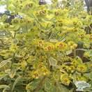 Buy Euphorbia x martinii 'Ascot Rainbow' (Spurge) online from Jacksons Nurseries.