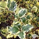Buy Ilex aquifolium 'Handsworth New Silver' (Variegated Female Holly) online from Jacksons Nurseries.