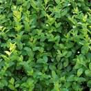 Buy Ligustrum ovalifolium Bare Root