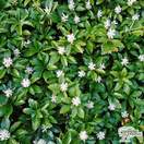 Buy Pachysandra terminalis (Japanese Spurge) online from Jacksons Nurseries