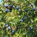 Prunus Spinosa Base bare root
