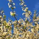 Prunus avium bare root